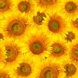 De achtergrond van zonnebloemen Stock Fotografie
