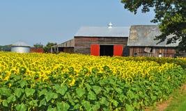 De Zonnebloemen van Bashfull stock afbeelding