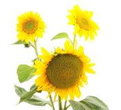 De zonnebloemen van bloemen Stock Afbeeldingen