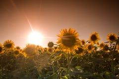 De zonnebloemen van de mysticus Stock Fotografie