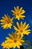 De zonnebloemen van de schoonheid met blauwe hemel Royalty-vrije Stock Afbeeldingen