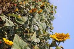 de zonnebloemen zoeken de zon royalty-vrije stock foto's