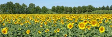 De zonnebloemen, zonnebloemen (Helianthus-annuus) Royalty-vrije Stock Foto's