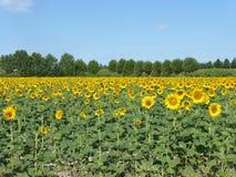 De zonnebloemen, zonnebloemen (Helianthus-annuus) Stock Fotografie