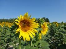 De zonnebloemen, zonnebloemen (Helianthus-annuus) Stock Foto