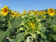 De zonnebloemen, zonnebloemen (Helianthus-annuus) Royalty-vrije Stock Fotografie