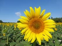 De zonnebloemen, zonnebloemen (Helianthus-annuus) Royalty-vrije Stock Afbeelding