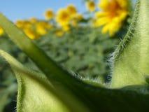 De zonnebloemen, zonnebloemen (Helianthus-annuus) Stock Foto's