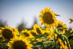 De zonnebloemgebied van Kansas Royalty-vrije Stock Afbeelding