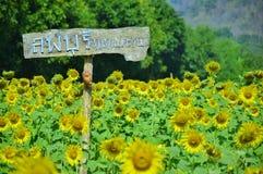 De Zonnebloemgebied van Khaojeen Lae stock afbeelding