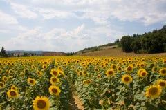 De zonnebloemgebied van Toscanië royalty-vrije stock afbeeldingen