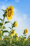De zonnebloemgebieden zijn bloeiend in de zomer Stock Foto