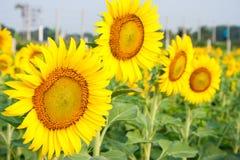 De zonnebloemgebieden zijn bloeiend in de zomer Stock Foto's
