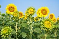 De zonnebloemgebieden zijn bloeiend in de zomer Stock Fotografie