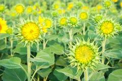 De zonnebloemgebieden zijn bloeiend in de zomer Royalty-vrije Stock Fotografie
