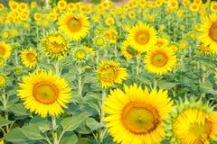 De zonnebloemgebieden zijn bloeiend in de zomer Stock Afbeelding