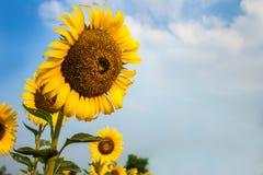 De zonnebloemgebieden zijn bloeiend in de zomer Royalty-vrije Stock Afbeeldingen