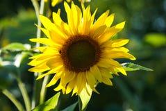 De zonnebloemzomer Royalty-vrije Stock Afbeeldingen