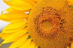De zonnebloemzomer gouden bloeien Stock Afbeeldingen