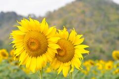 De zonnebloemzomer gouden bloeien Royalty-vrije Stock Foto's