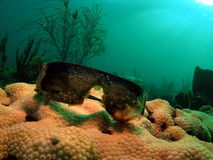 De Zonnebril van het koraal Stock Afbeeldingen