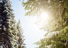 De Zonnestraal en de Pijnboombomen van het de winterzonlicht in Natuurlijk Bos royalty-vrije stock fotografie