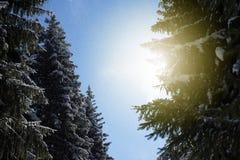 De Zonnestraal en de Pijnboombomen van het de winterzonlicht in Natuurlijk Bos stock afbeelding