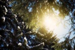 De Zonnestraal en de Pijnboombomen van het de winterzonlicht in Natuurlijk Bos royalty-vrije stock foto's