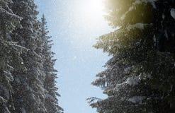 De Zonnestraal en de Pijnboombomen van het de winterzonlicht in Natuurlijk Bos royalty-vrije stock afbeelding