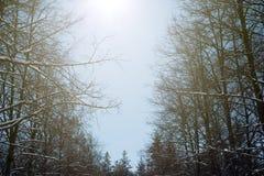 De Zonnestraal en de Pijnboombomen van het de winterzonlicht in Natuurlijk Bos stock foto