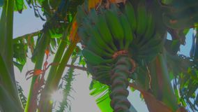 De zonnestraal glanst door de bananen op de boom stock videobeelden