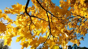 De zonnestraal glanst door de gele bladeren van de esdoorn, de takslingeringen stock videobeelden