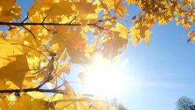 De zonnestraal glanst door de gele bladeren van esdoorn - de takslingeringen in een wind stock footage