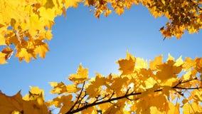 De zonnige straal glanst door de gele esdoornbladeren tegen blauwe hemel, exemplaarruimte stock videobeelden