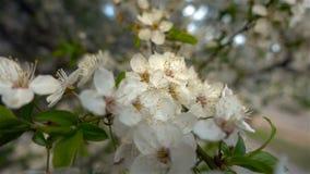 De zononderbreking door de bloemen op de takken van de bomen stock video