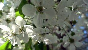 De zononderbreking door de bloemen op de takken van de bomen stock videobeelden
