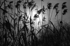 De zononderbrekingen door het dikke struikgewas van riet stock foto