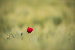 De zonovergoten rode papaver, wordt geschoten met ondiepe diepte van scherpte, op een achtergrond van een tarwegebied Landschap m Stock Foto's