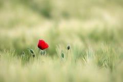 De zonovergoten Rode Wilde Papaver, wordt geschoten met Ondiepe Diepte van Scherpte, op een Achtergrond van een Tarwegebied Lands Royalty-vrije Stock Foto's