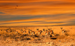 De zonsondergang van de impala stock fotografie