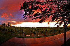 De Zonsondergang van de wijngaard Stock Foto's