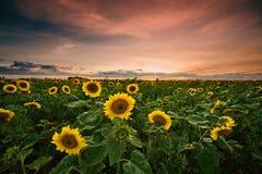 De zonsondergang van de zonnebloem Stock Fotografie