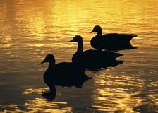 De Zonsondergang van drie Ganzen Stock Foto's