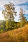 De zonsondergang van het de zomerlandschap met gouden gras en berken Stock Foto's