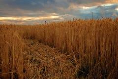 De zonsondergang van het tarwegebied Stock Afbeeldingen