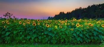 De zonsondergang van het zonnebloemgebied stock foto