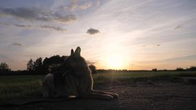 De Zonsondergang van Lying On The van de silhouetduitse herder, ademt Damp van Zijn Mond uit stock videobeelden