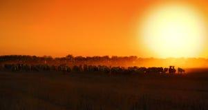 De zonsondergang van schapen Stock Fotografie