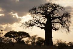 De zonsondergangsilhouet van de baobab royalty-vrije stock foto