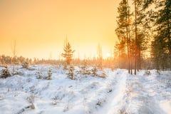 De zonsondergangzonsopgang in Sunny Winter Snowy Forest Sun glanst over Wint Royalty-vrije Stock Afbeelding